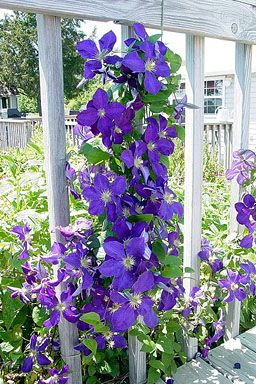 Generalimage blue clematis fence botanical gardens nature for Climbing flowering plants for fences
