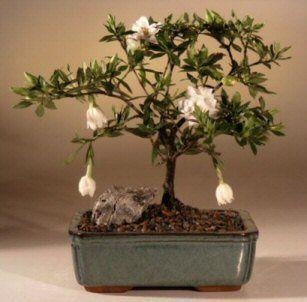 Flowering Gardenia Bonsai Tree Medium Gardenia Jasminoides
