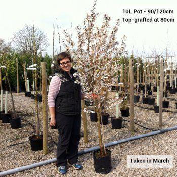 Prunus Ukon Tree Flowering Cherry Tree Japanese Cherry Tree Trees To Plant