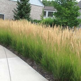 Karl foerster grass is a fast growing low hedge plant for Fast growing ornamental grass