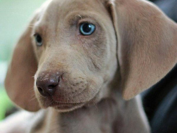 Dogs For Sale In Galway Donedeal Ie Weimaraner Puppies Weimaraner Weimaraner Dogs