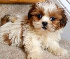 Shih Tzu Puppies For Sale Shih Tzu Puppy Maltipoo Puppy Shih Tzu