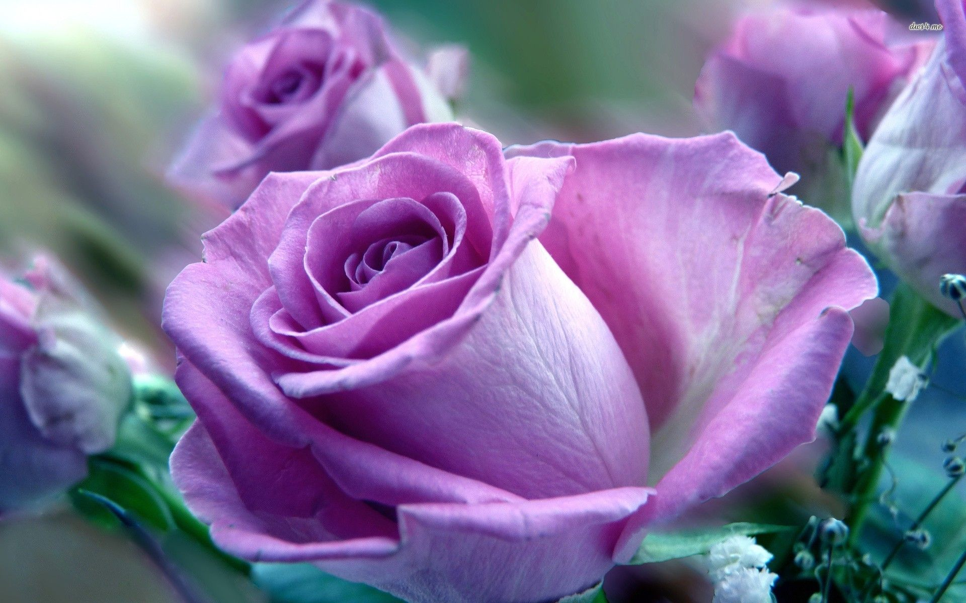 Beautiful Rose Hd Wallpaper With Images Purple Roses Wallpaper
