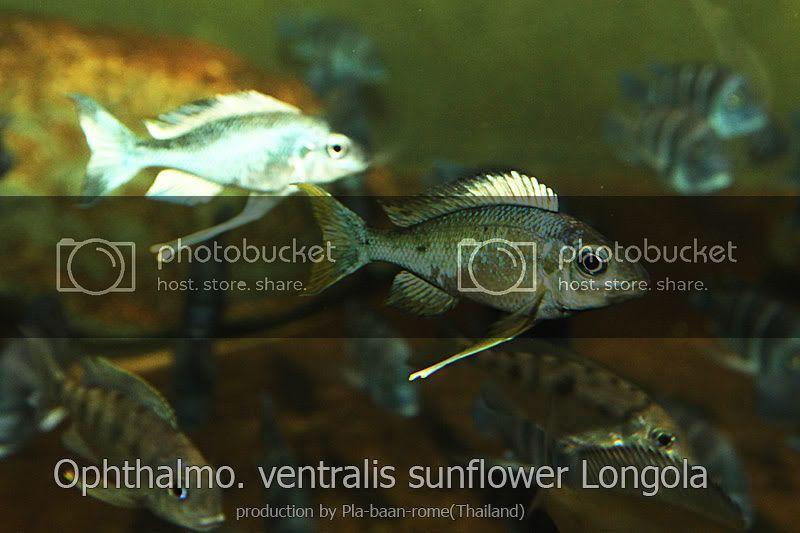 ขาย ปลาหมอส จากทะเลสาปแทงก นย กา ปลาบ านโรม 0093472 ซ อ ขาย แลกเปล ยน Ninekaow Com ปลาหมอส ขาย
