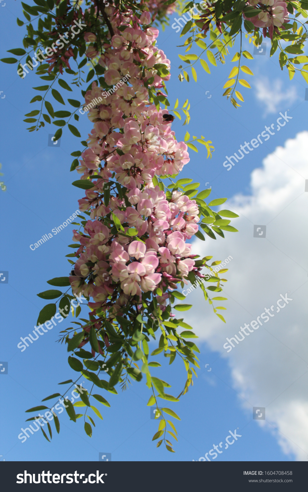 Acacia Tree With Beautiful Pink Flowers Blue Sky And A White Cloud In 2020 Beautiful Pink Flowers Beautiful Tree Acacia Tree