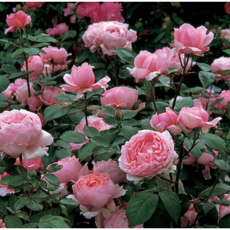 Brother Cadfael David Austin Roses English Roses Shrub Roses