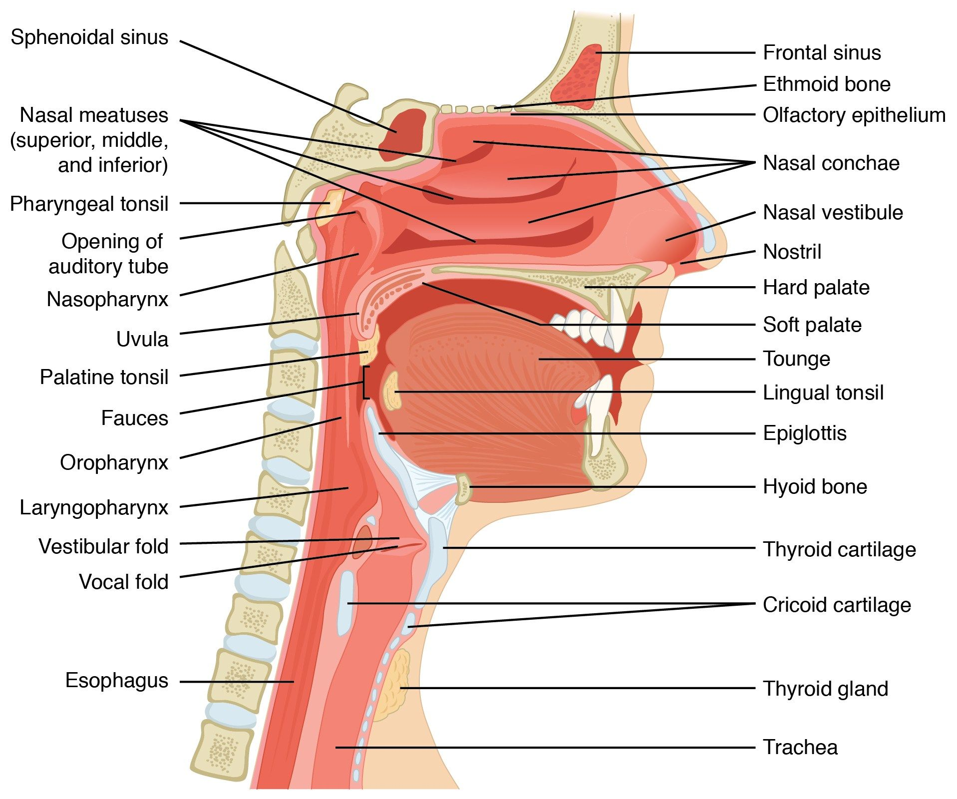 small resolution of labelled diagram of pharynx wiring diagram advance labelled diagram of pharynx