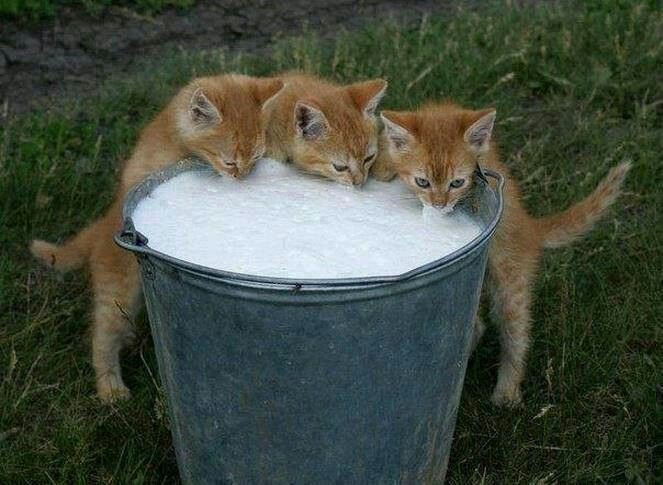 Kitties Drinking Bucket Of Milk Soooo Adorable Cats And Kittens Kittens Cutest Kittens