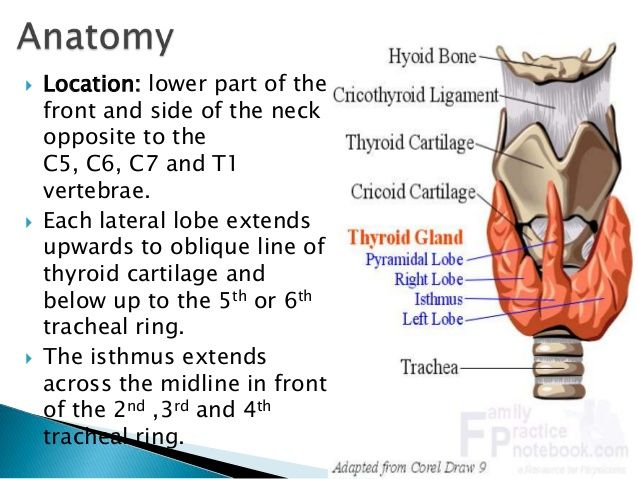 Anatomy And Physiology Of Thyroid Gland Thyroid Gland Anatomy