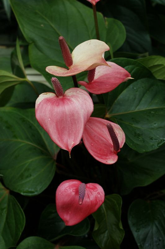 Anthurium X Ferrierense Miss June 2 Anthurium Plant Anthurium Love Flowers