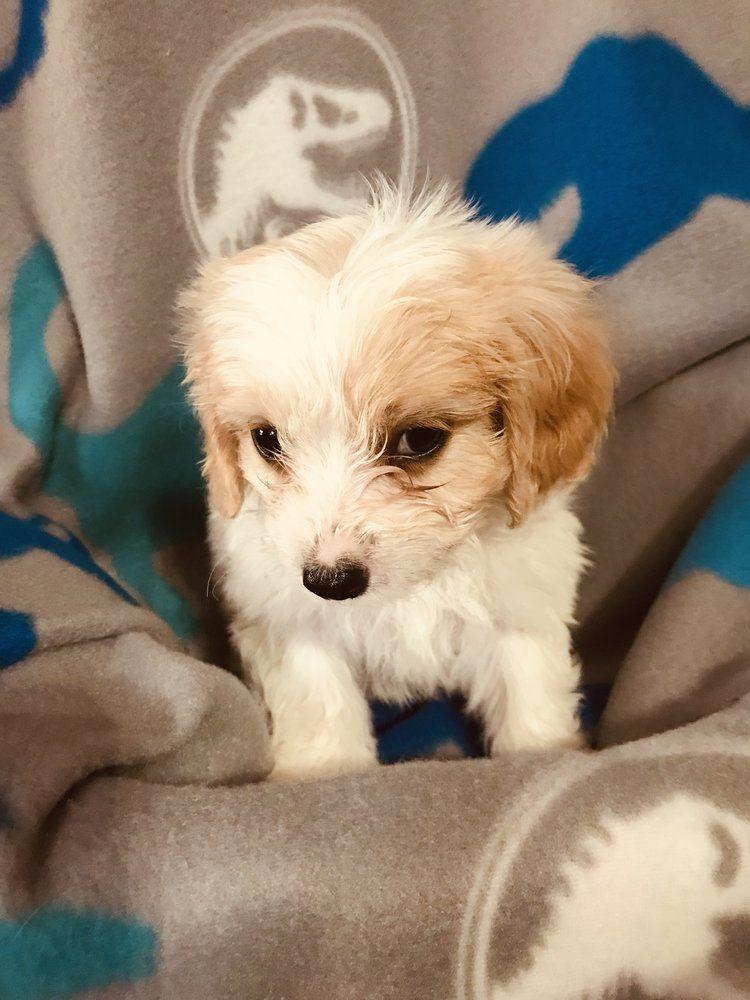 Cavachon Puppy 1500.00 Cavachon puppies, Cavachon