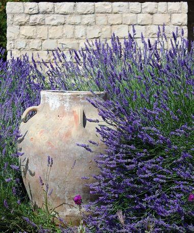 Lawenda Prosta Uprawa Ciecie I Dekoracje Growing Lavender Flowers Perennials Lavender Plant