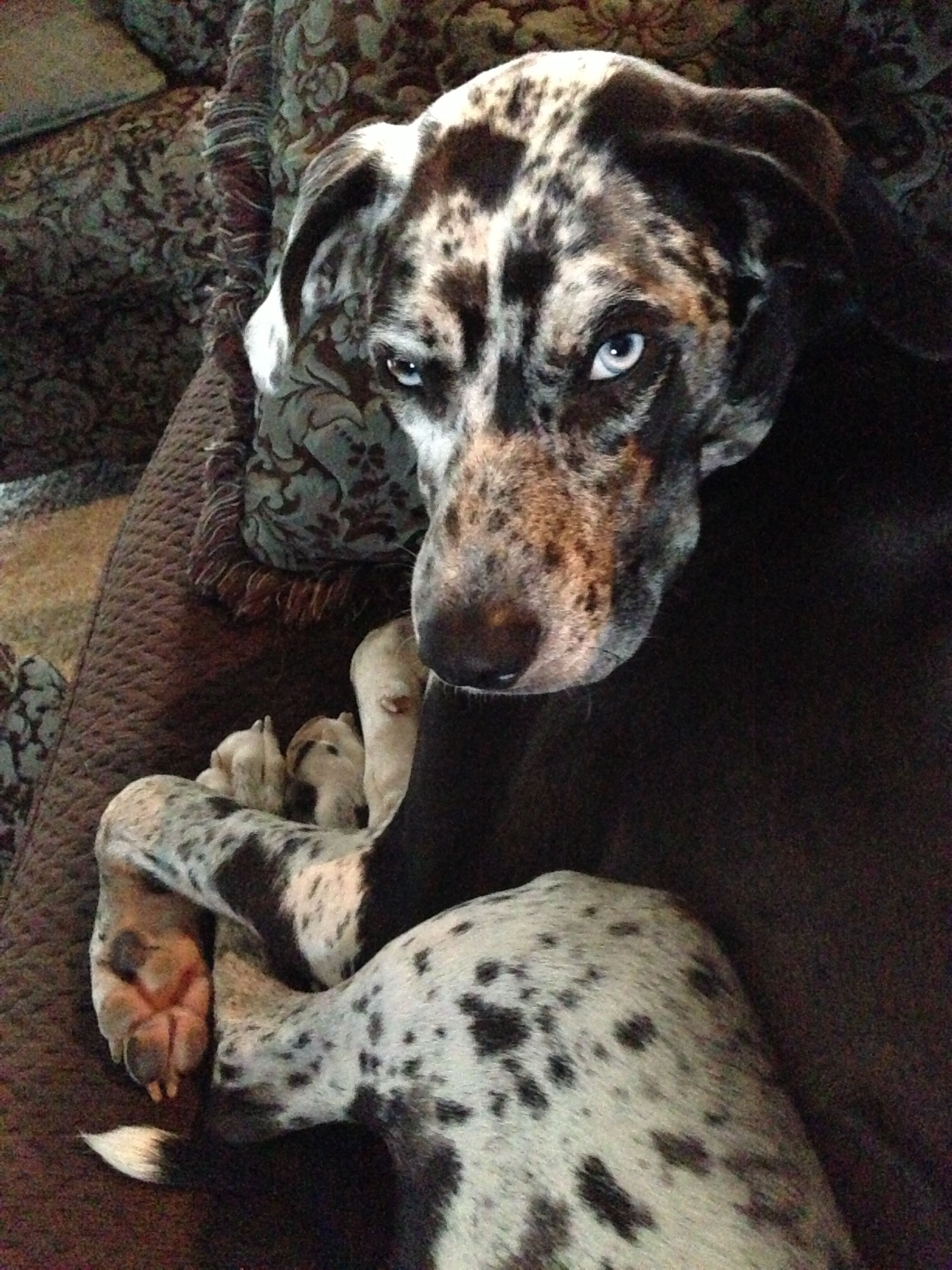 I Love My Catahoula Catahoula Leopard Dog Puppy Catahoula