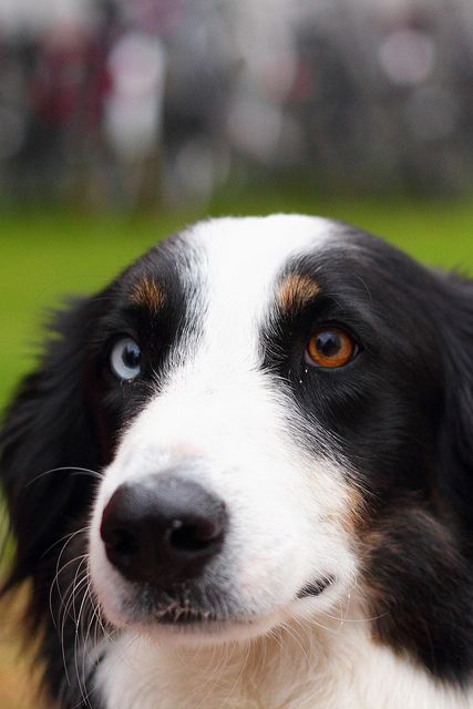 Heterochromia Dogs Border Collie Collie