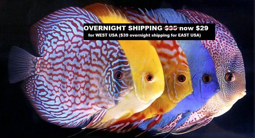 Tropical Fish For Sale Discus Fish Discus Fish For Sale Tropical Fish