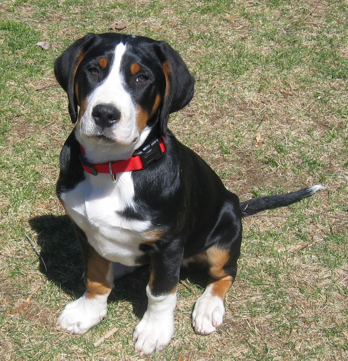 Prism Greater Swiss Mountain Dogs - Puppies | Greater ...
