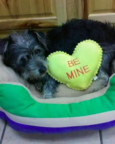 Meet Sparky, a Petfinder adoptable Schnauzer Dog | Springdale, AR | Sparky was surrendered to us by his owner, they could no longer take care of him. He is a cutie and...