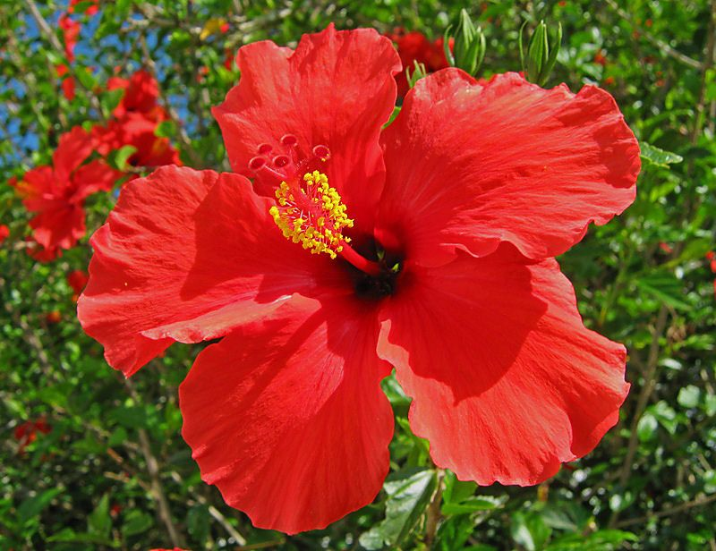 Unimaginative Me Hibiscus Our National Flower Hibiscus Plant Hibiscus Hibiscus Flowers
