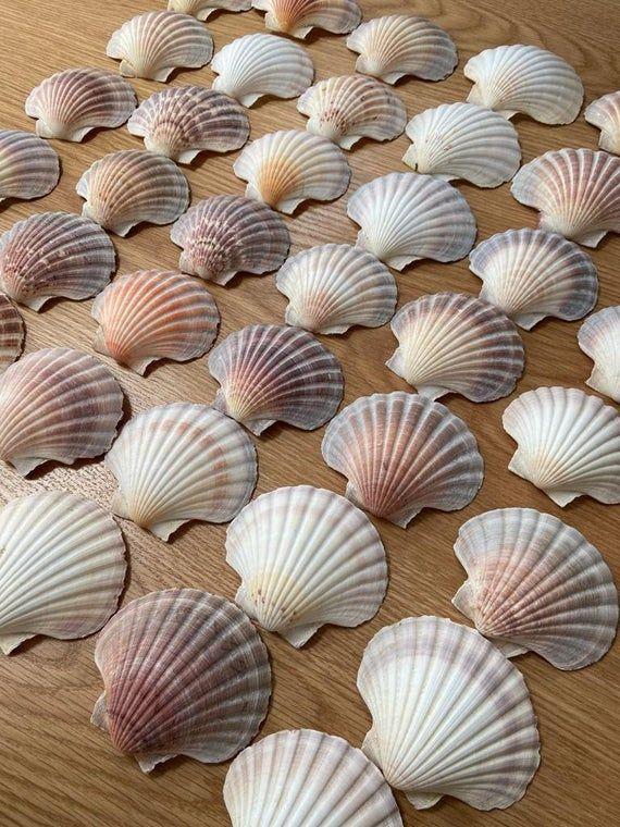 Scallops 10cm Shell, Natural White Cleaned Seashells, Craft Shells