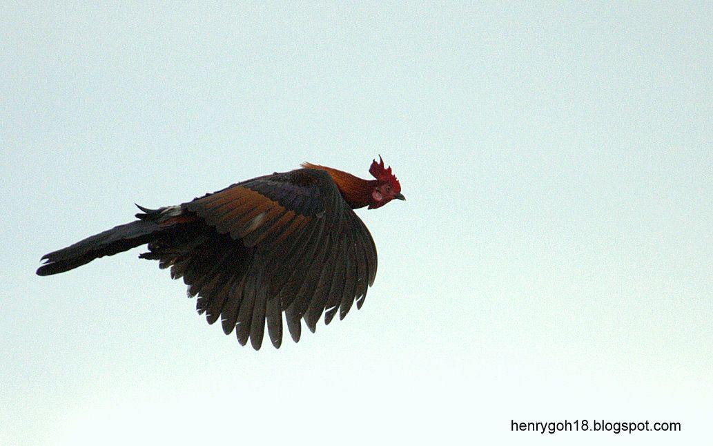 Red Jungle Fowl In Flight ไก