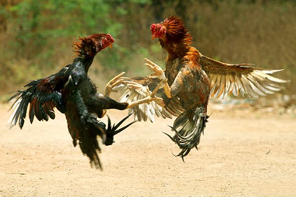 3 lễ hội nên tránh tại Việt Nam theo tổ chức bảo vệ quyền lợi động vật PETA - http://links.daikynguyenvn.com/mNiKc