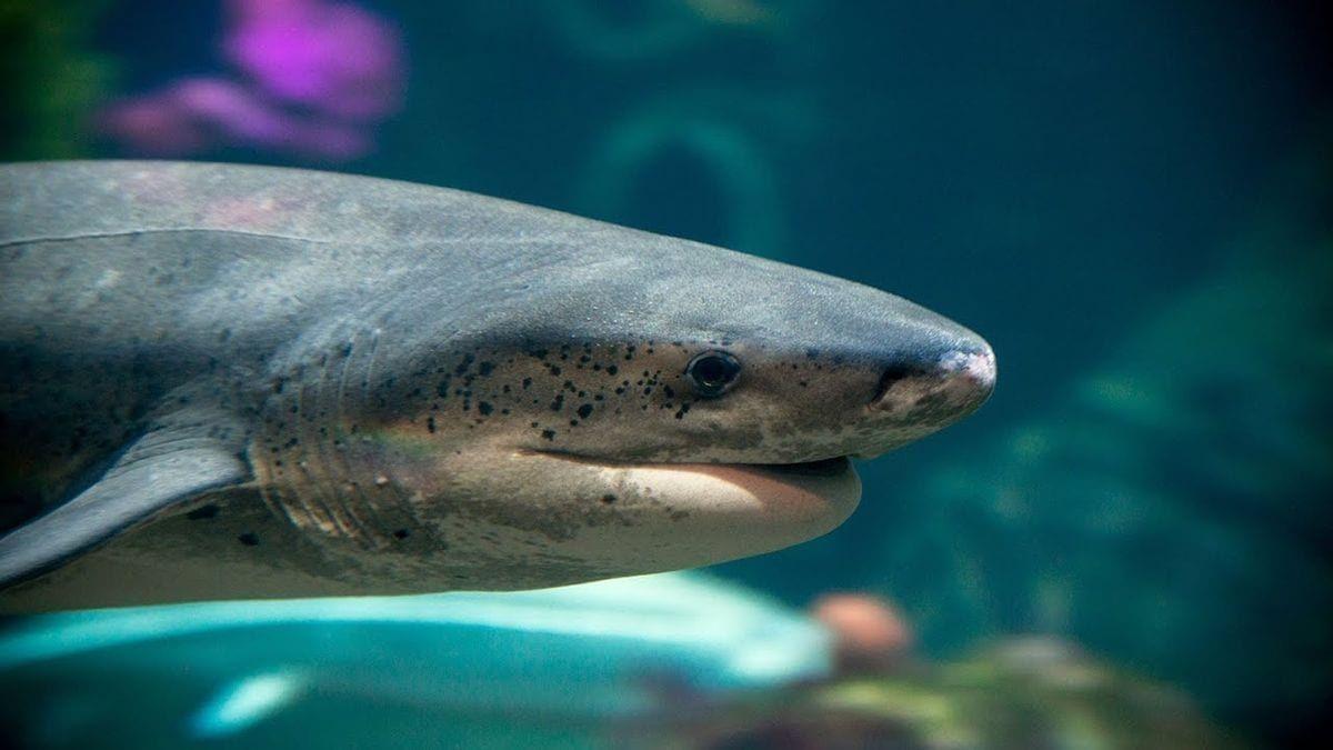 Eine Live-Cam, die die Haie im Monterey Bay-Aquarium zeigt ...
