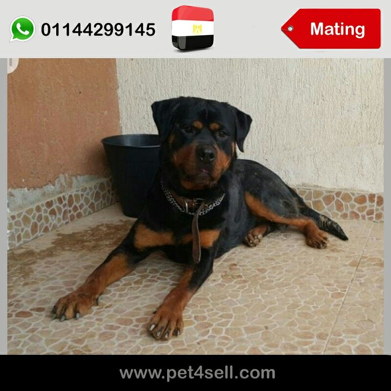 Egypt New Cairo For Mating American Rottweiler Pet4sell With