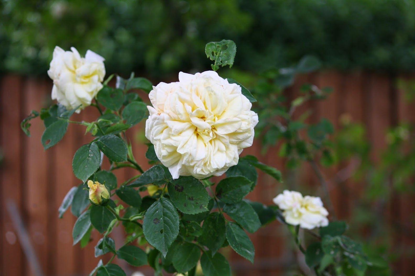 """Foto in """"La magie des roses ( une petite anthologie en images et chansons )"""" - GoogleFotos"""