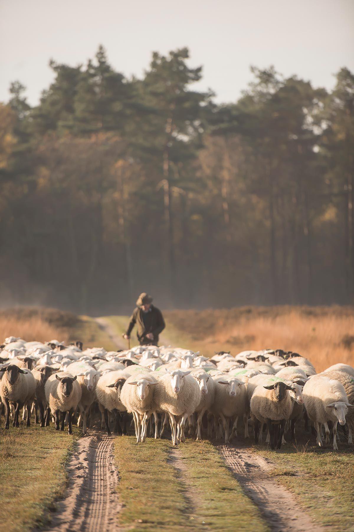 schaapherder met schaapskudde elspeet | www.twoonhuis.nl