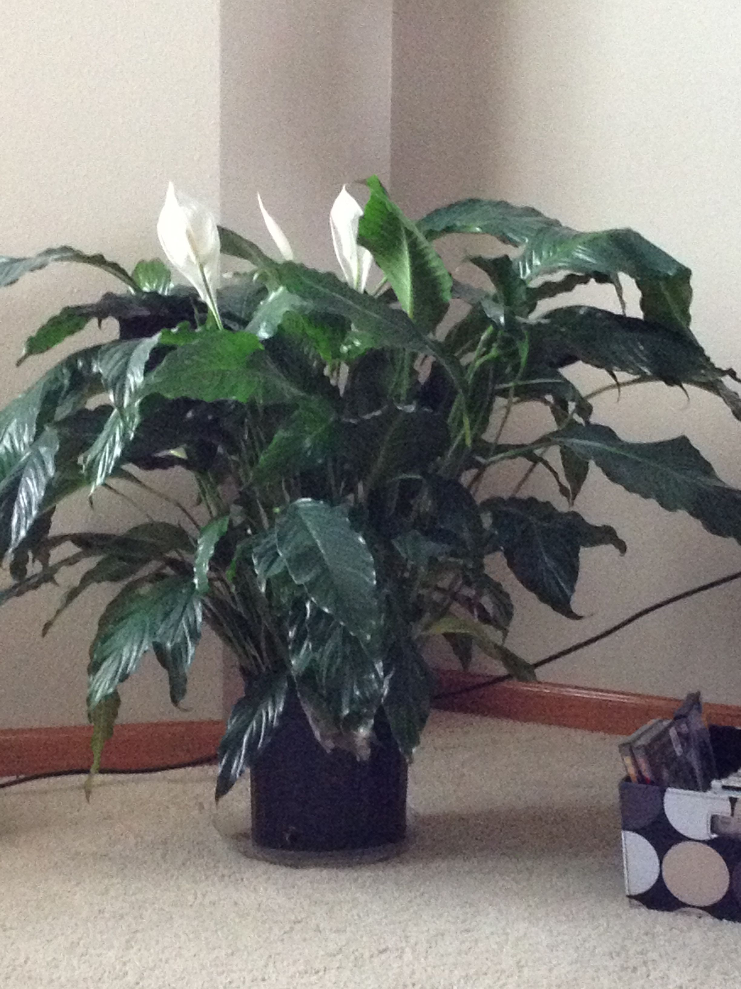 Peace lily brought back to life | Peace lily Houseplants ...