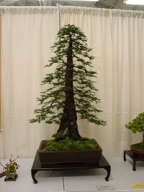 Bonsi Bonsai Tree Redwood Bonsai Bonsai Forest