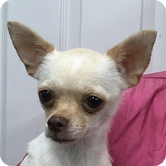 Lexington Ky Chihuahua Mix Meet Gigi A Dog For Adoption Dog