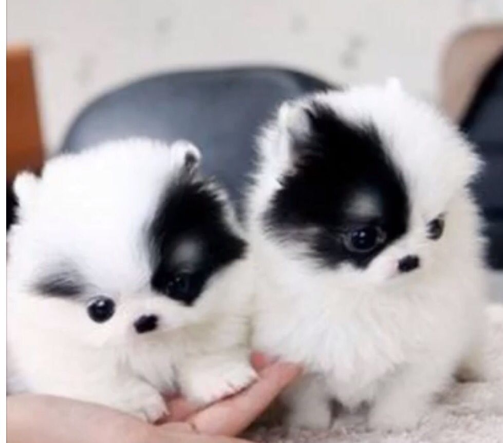 Pin By Lueanne Martin On Precious Poms Pomeranian Puppy Teacup Teacup Puppies Cute Baby Animals