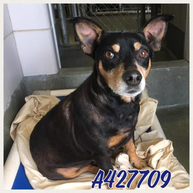 DoxiePin dog for Adoption in San Antonio, TX. ADN514561