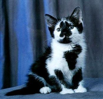 This Little Fellow Is The New Breed Of Feline It S Called The