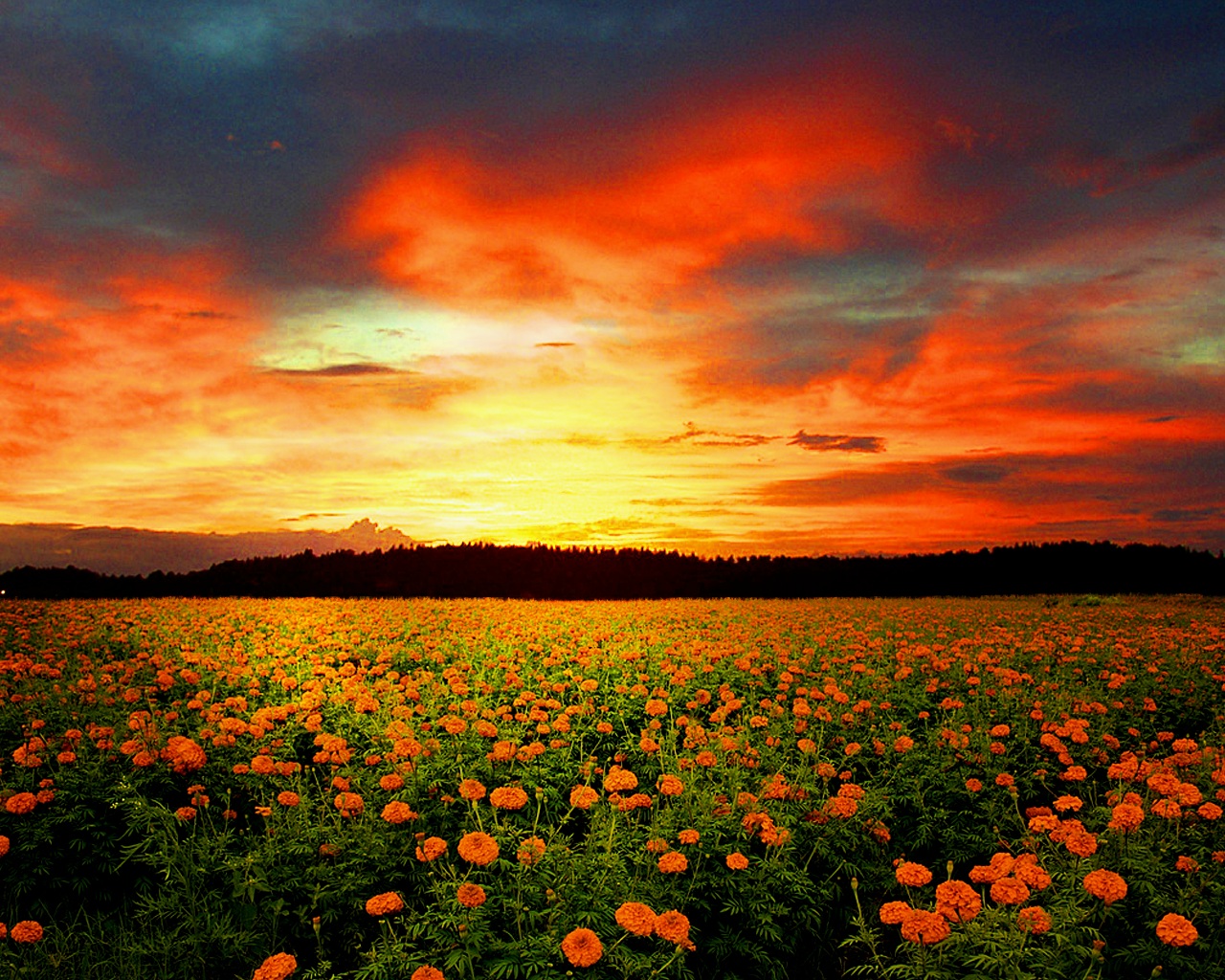 Flower field related keywords suggestions flower field long orange field of flowers izmirmasajfo Images