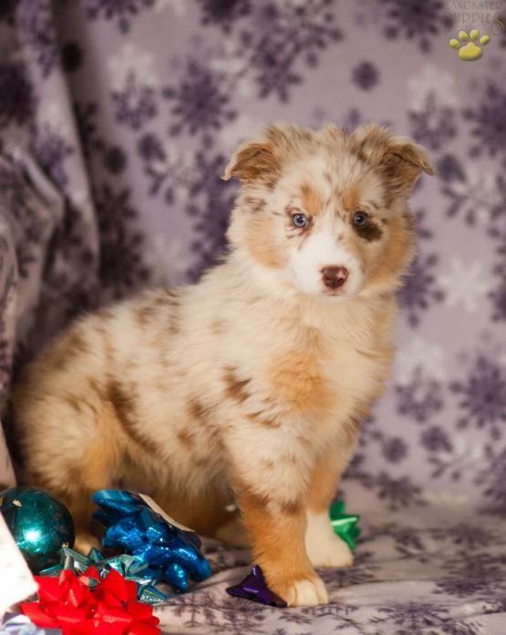 Gracie Australian Shepherd Puppy for Sale in Paradise