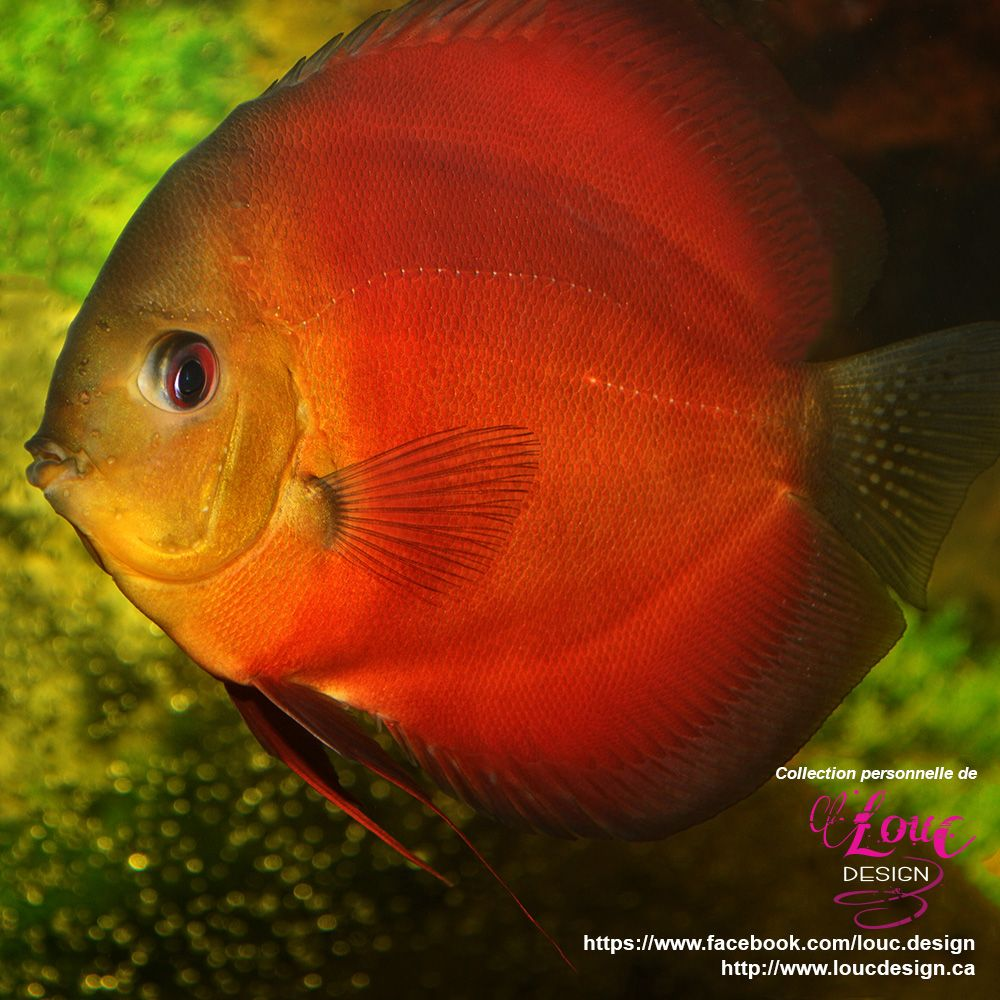 Discus | aquarium | Pinterest | Discus, Fish and Aquariums