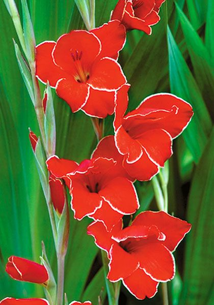 Atom Gladiolus 1946 Oldhousegardens Com Gladiolus Gladiolus Bulbs Beautiful Flowers Garden