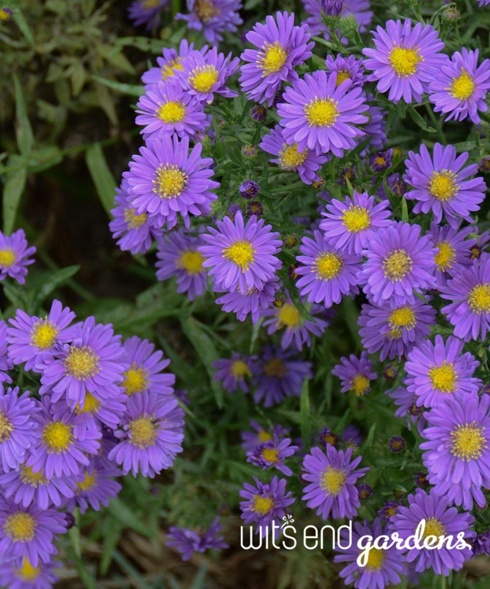 Aster Kickin Lilac Blue Perennial Plants Perennials Plants