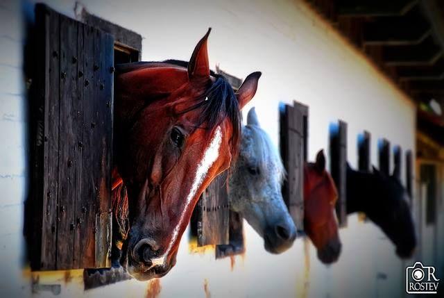 bay, flea-bitten grey horse stall stripe