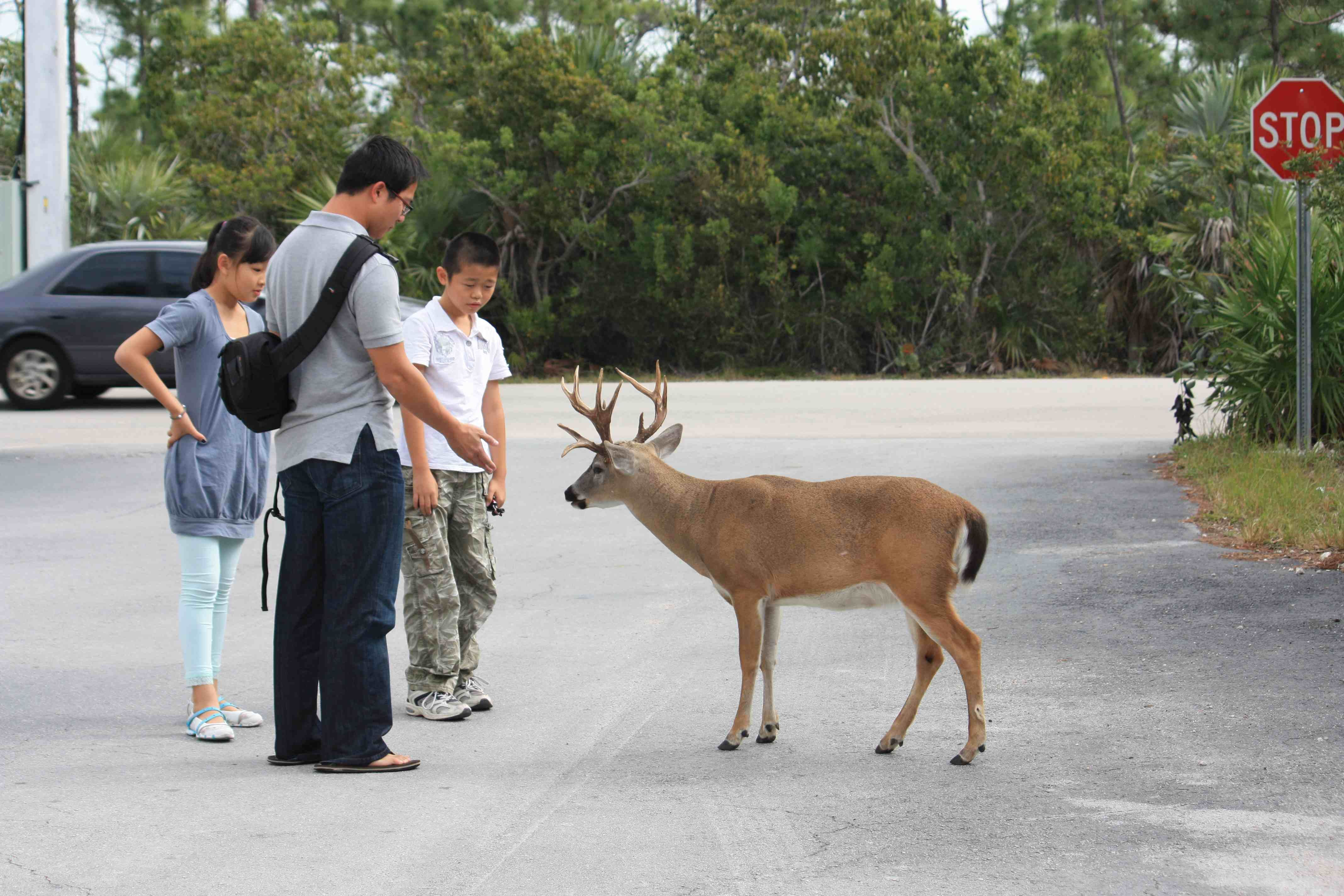 characteristics of the key deer Florida key deer facts information - florida wildlife guide.