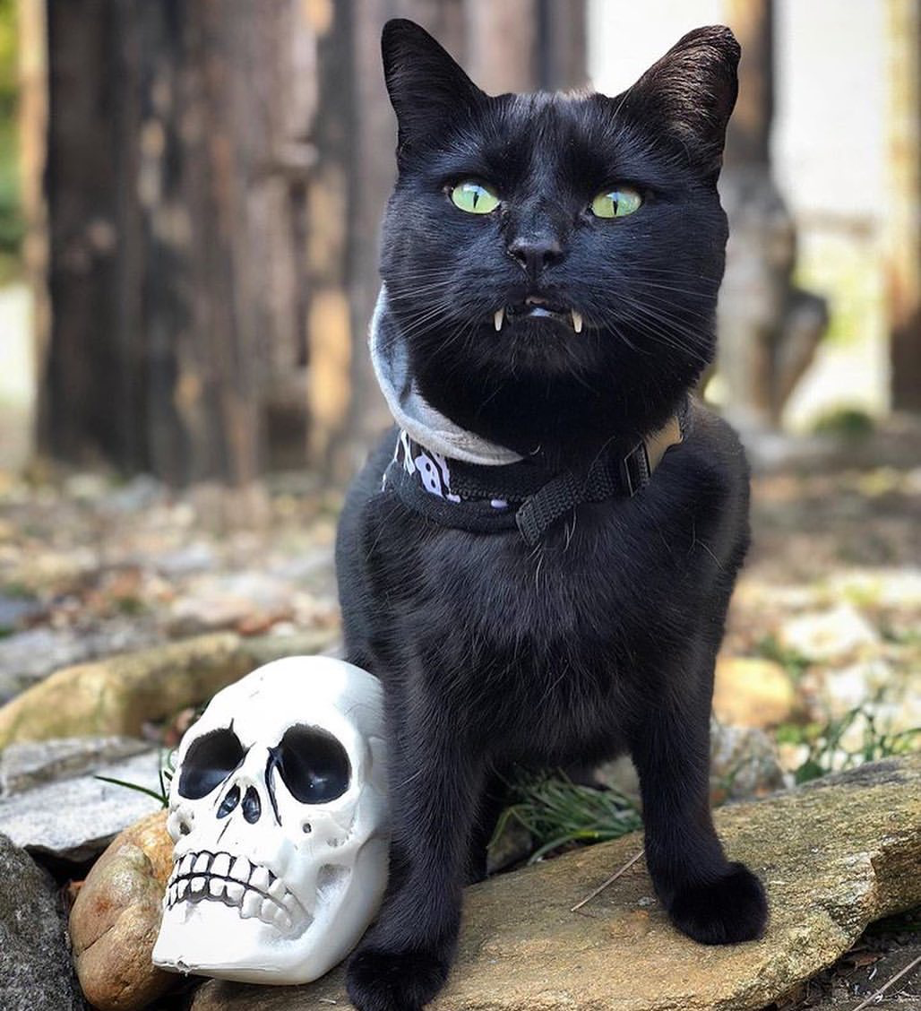 Pin by 𝓒elia After Dark🥀 on Ḥọc̣ụṣ P̣ọc̣ụṣ • Vampire cat