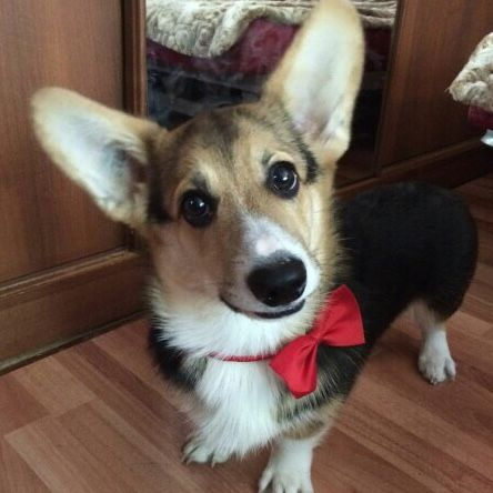 Beautiful Bow Tie Bow Adorable Dog - c72c701ff477896497f88e83a91696fd  Graphic_469285  .jpg