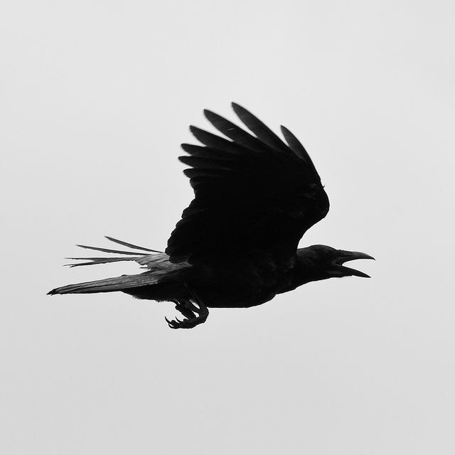 crows flying tattoo | Crow Flying Silhouette | tattoos ...
