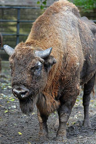 Wisent of European bison (Bison bonasus)