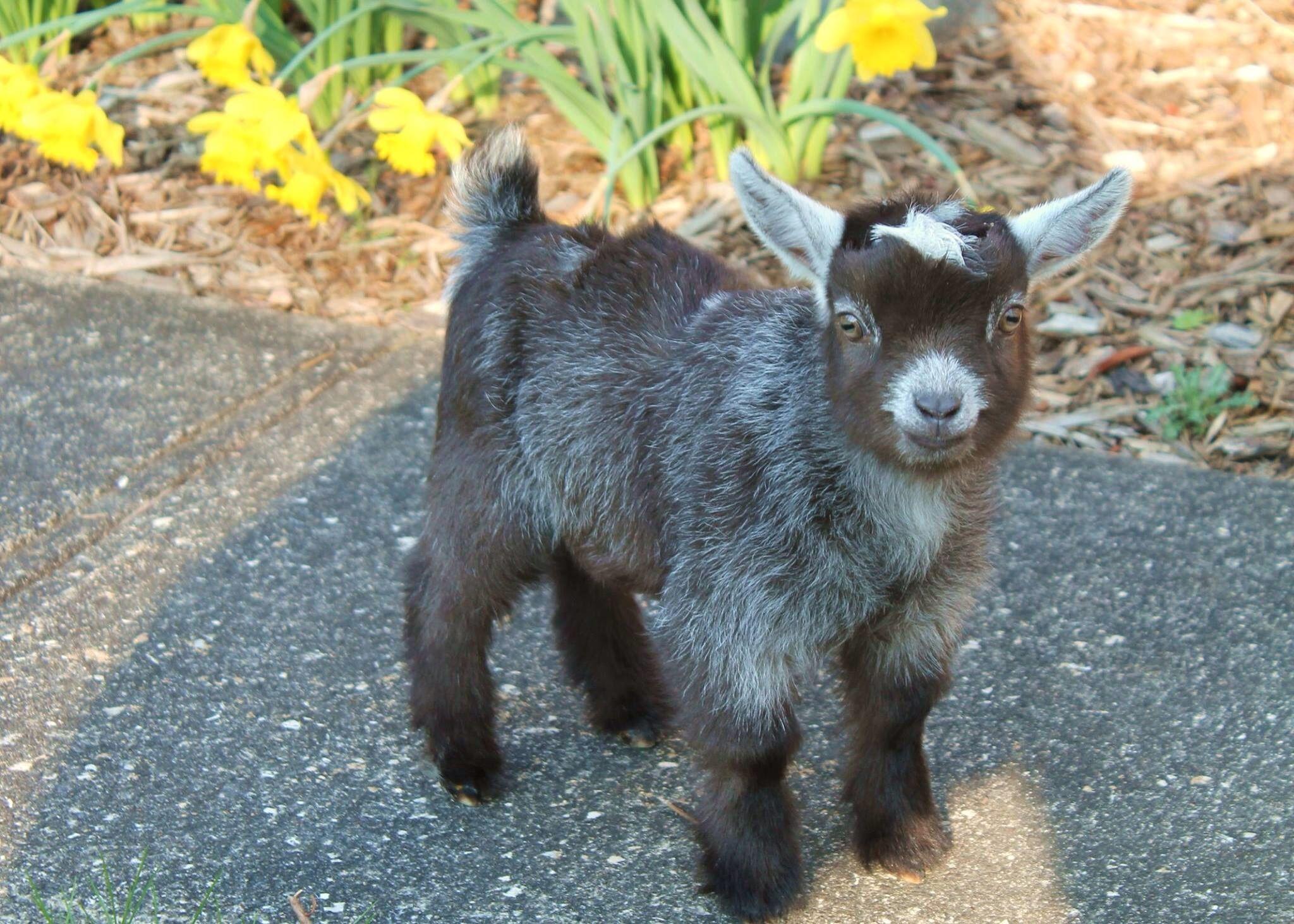 Adorable Pygmy Goat kid!