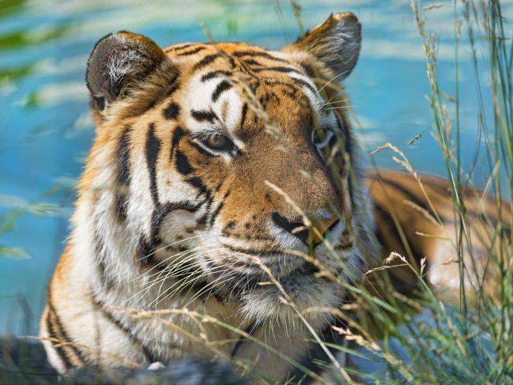 tiger wild cat muzzle swimming wallpaper background