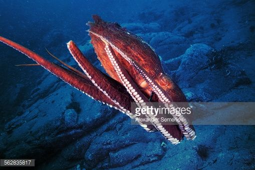 Underwater Close Up Of Striped Octopus With Long Tentacles ...
