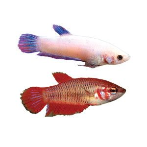 Female betta i didnt realize you could two female bettas in same female betta at petsmart shop all fish goldfish betta more online sciox Image collections
